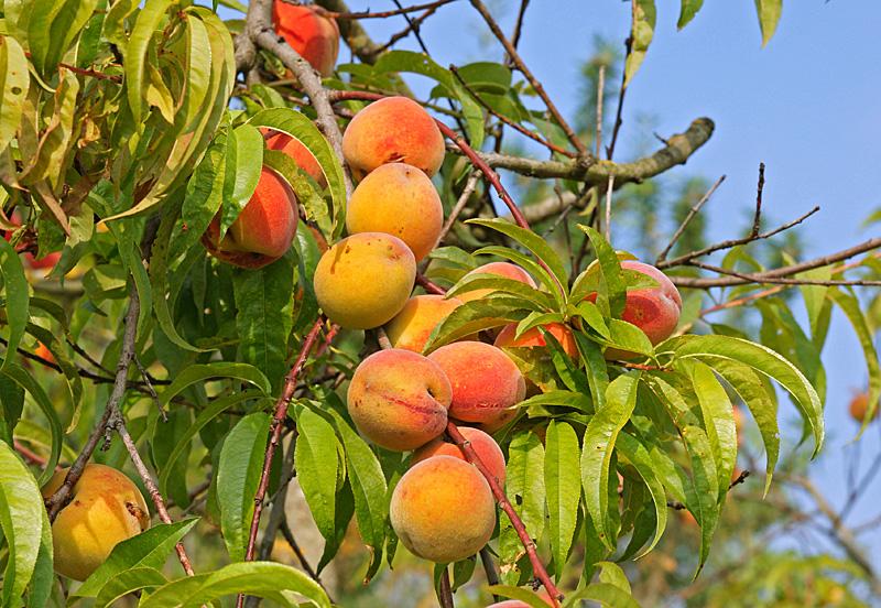 Arma di taggia corso teorico pratico sulle piante da for Potatura piante da frutto