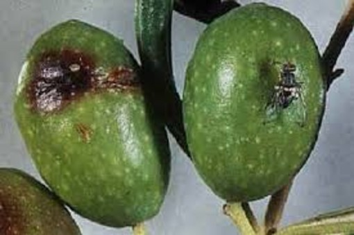 Olivicoltura: tre giovani piemontesi propongono una nuova formulazione contro la mosca dell'olivo