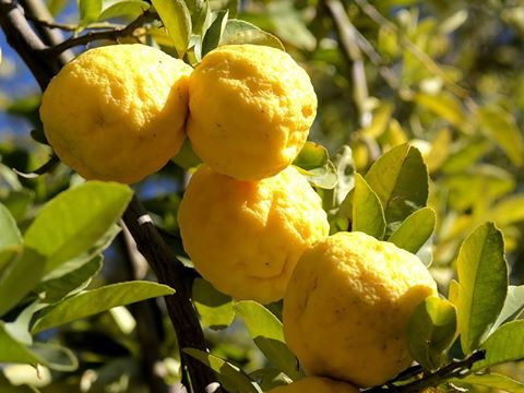 Seborga al via da gioved prossimo la piantumazione di for Pianta di limone