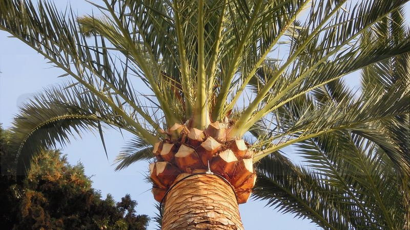 Taggia il viale delle palme colpito dal punteruolo rosso - Punteruolo rosso in casa ...