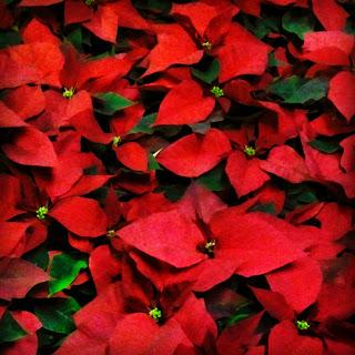 La Stella Di Natale Poesia.Mondo Di Poesie Stella Di Natale Rossa Pulcherrima Di Roberto