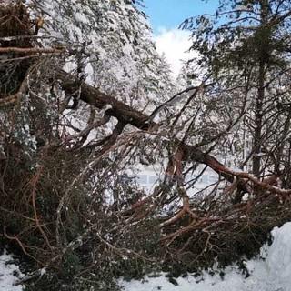 Grosso albero cade sulla strada per Colle Melosa: viabilità interrotta in attesa del taglio della pianta (foto)