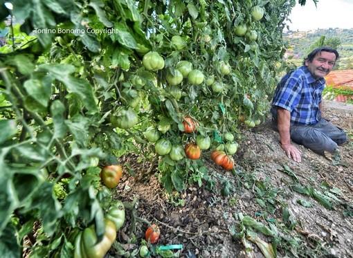 Sanremo: Armando 'L'uomo che sussurra ai pomodori', anche quest'anno a San Giacomo un raccolto da record (Foto)