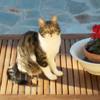 Sanremo: il gatto Arnolfo è stato smarrito a Bussana, la sua famiglia lo sta cercando