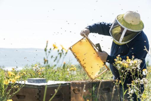 Giornata mondiale delle api: cresce il consumo di miele ma l'andamento climatico rischia di condizionare l'annata ligure