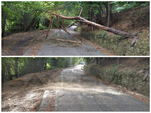 Entroterra: crolla un albero sulla Provinciale tra Bajardo e San Romolo, pronto intervento e pianta rimossa (Foto)