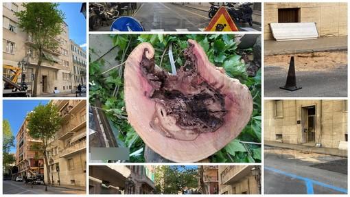 Sanremo: polemiche per l'abbattimento dei platani in via Ruffini ma erano malati e a rischio crollo (Foto e Video)