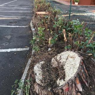 San Bartolomeo al Mare: pini di Piazza Andrea Doria, abbattimento necessario e non rimandabile