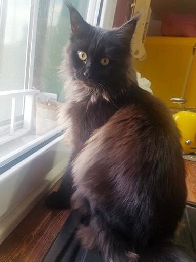 Sanremo: gatta si è allontanata da casa in via Pietro Agosti, l'appello della proprietaria (Foto)