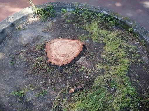 I pini abbattuti in corso Cavallotti