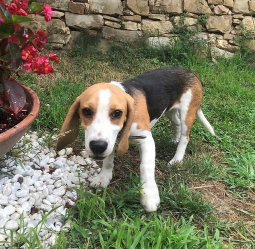 Sanremo: cucciola di Beagle trovata nella zona di Val D'Olivi, l'appello per i proprietari