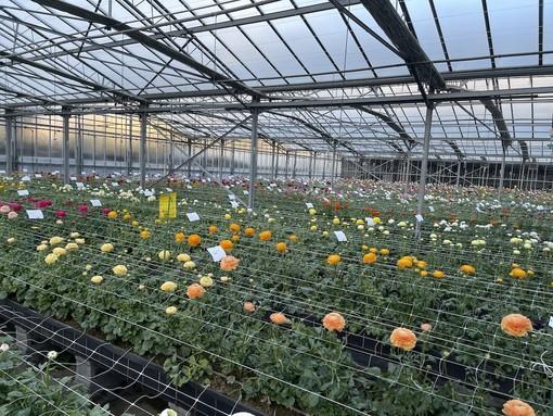 Camporosso: alla Biancheri Creazioni un open day lungo 40 giorni per scoprire la nuova produzione floricola