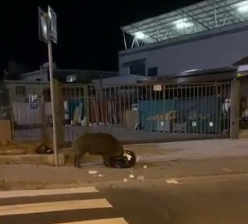 Camporosso: un cinghiale a caccia di cibo nell'area commerciale 'catturato' da un video di un automobilista