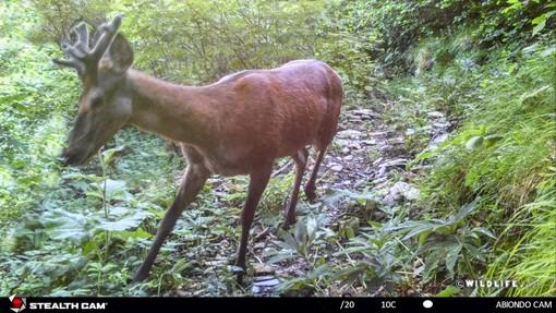 Un Cervo 'Nobile' in Valle Argentina: è stato 'catturato' dalla fototrappola di 'Wild Life' (Foto)
