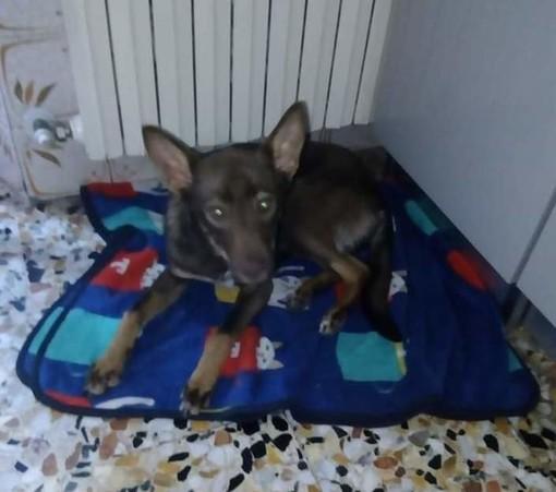 Dolce cagnolina di 9 mesi cerca urgentemente una nuova famiglia