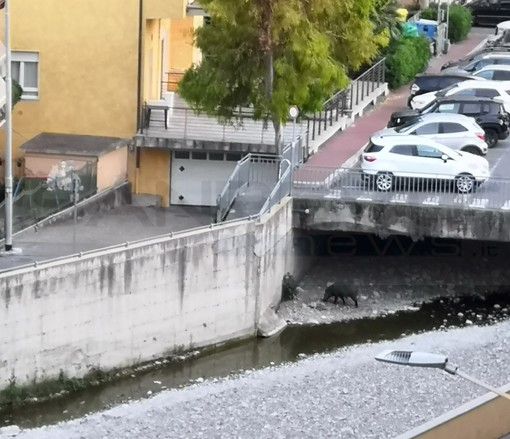 Dopo il cinghiale 'Carmelo' a Ventimiglia ecco che a Vallecrosia arriva 'Turiddu' insieme alla famigliola (Foto)