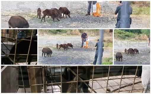 Ventimiglia: agenti della Regione 'armati' di cibo per catturare i cinghiali sul Roya e poi liberarli in montagna (Foto)