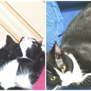 Ventimiglia: il gatto Chaos é stato ritrovato, i ringraziamenti della proprietaria a 'Lally Veg' del gattile