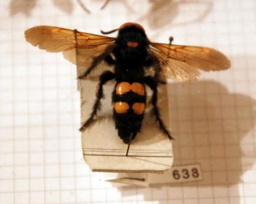 Bordighera: 65enne punto da una vespa velutina mentre è in scooter, soccorso dal 118. Non è grave