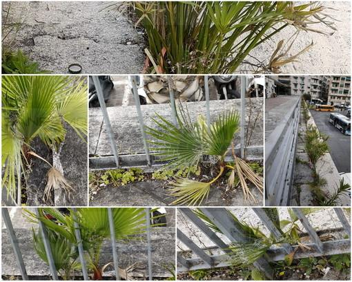 Sanremo: la natura si 'insedia' sul solettone di piazza Colombo, in attesa del restyling serve un intervento di sfalcio (Foto)