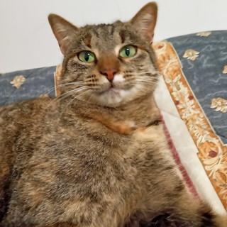 Sanremo: gattina di 3 anni smarrita in via Margotti nella zona di Baragallo, l'appello dei proprietari (Foto)