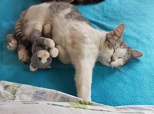 Sanremo: smarrito nuovamente il gatto Mimì nella zona di corso Inglesi, l'appello dei proprietari (Foto)