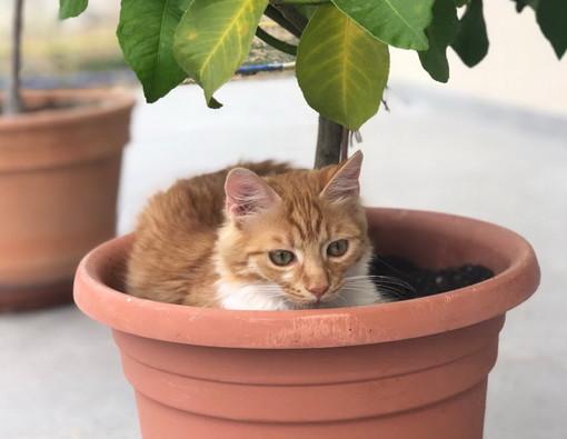 Sanremo: smarrito gatto nella zona del Solaro in via Privata delle Rose, l'appello dei proprietari (Foto)