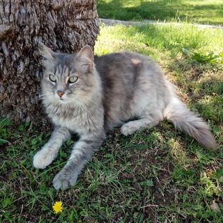 Arma di Taggia: si cerca 'Sissi', gatta scappata lunedì nella zona della chiesa parrocchiale (Foto)