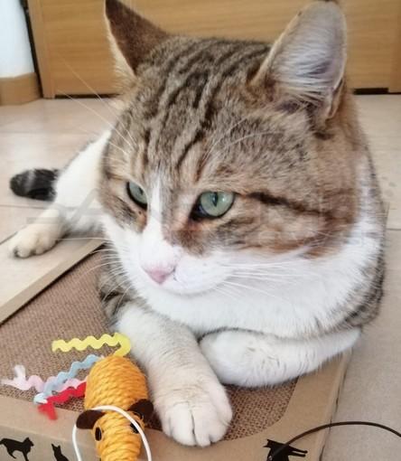 Sanremo: smarrito nella zona di San Lorenzo il gatto 'Pepe', l'appello dei proprietari (Foto)