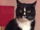 Sanremo: smarrito da via Vallarino il gatto 'Leo', l'appello dei proprietari per ritrovarlo (Foto)