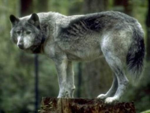 Triora: rinvenuti due cavalli con profonde ferite e in fin di vita, forse sono stati i lupi