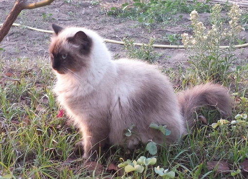 Imperia: gatto smarrito in strada Ronchi Brighei, l'appello dei proprietari per ritrovarlo (Foto)