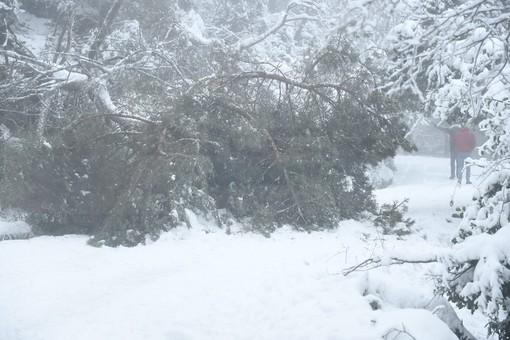L'albero caduto e, sotto, tutte le foto della nevicata