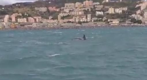 E' morto il piccolo di orca avvistato nei giorni scorsi nel golfo di Genova: l'annuncio del Tethys Research Institute