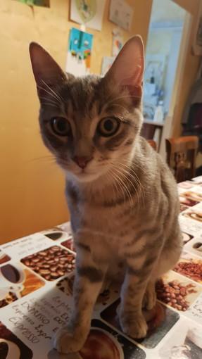 Sanremo: in via San Giusto è stato smarrito il gatto Pancione, l'appello della sua proprietaria
