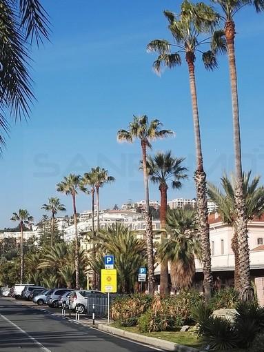 Sanremo: maquillage ai giardini e potatura delle palme sul lungomare Calvino in attesa del weekend dei fiori