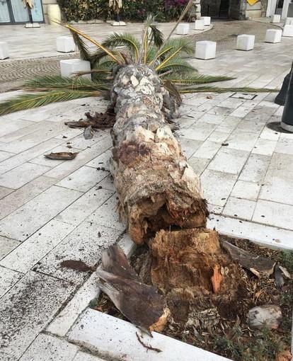Ventimiglia: palma pericolante a 'Porta Nizza', il Sindaco Scullino la 'abbatte' per ragioni di sicurezza (Foto)