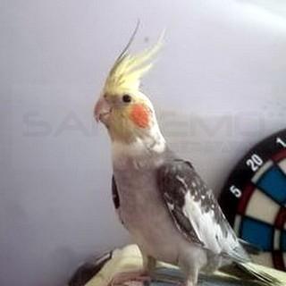 Ventimiglia: è volato via e non si trova più il pappagallo 'Blu', l'appello della proprietaria