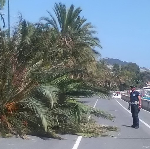 Sanremo: crolla una palma in corso Trento Trieste, intervento della Polizia Municipale e del settore giardini (Foto)