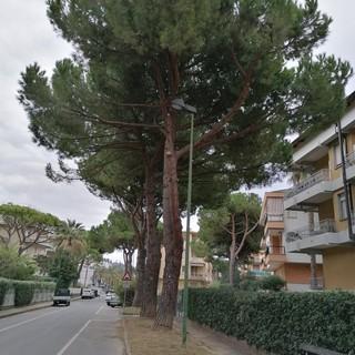 """Bordighera: 'Comitato spontaneo del verde' """"Periodo di nidificazione protegge i pini di via Aldo Moro e tutti gli alberi"""""""