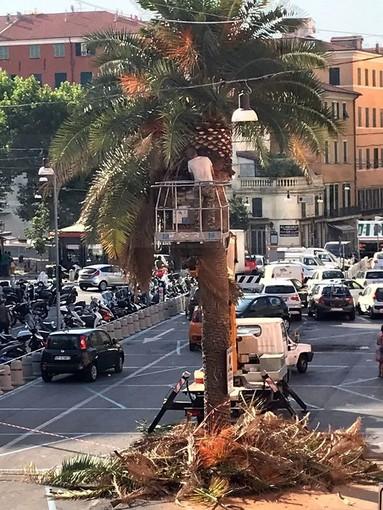 Sanremo: dopo piazza Bresca e Morgana ecco la potatura delle palme in piazza Eroi Sanremesi (Foto)