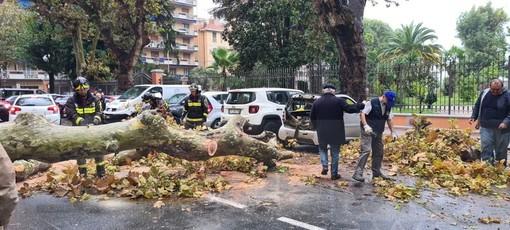 Ventimiglia: crolla sotto la forza del vento un platano in via Veneto, distrutta una Smart (Foto)