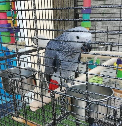 Bordighera: smarrito a Montenero un pappagallo cenerino, l'appello dei proprietari per ritrovarlo (Foto)