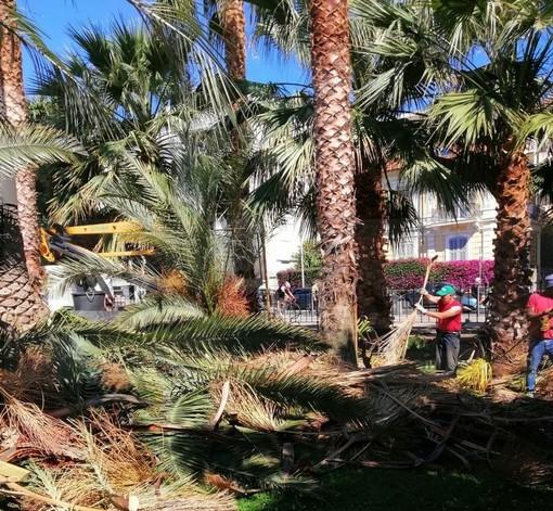 Sanremo: potatura di pini e palme tra ieri ed oggi, piantate tre nuove palme in via Barabino (Foto)