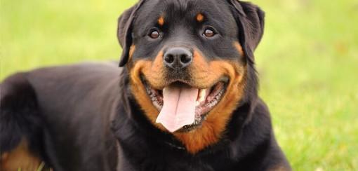 Ventimiglia: Rottweiler trovato morto strozzato sulla riva del Roja, la denuncia dell'associazione Arkus