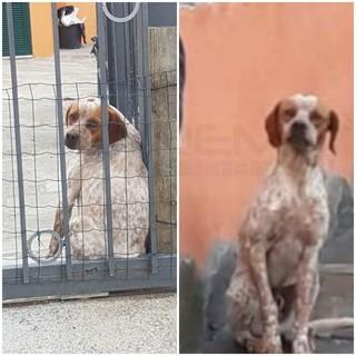 Sanremo: smarrito in località Beuzi il cane 'Spike', l'appello dei proprietari per chi lo avesse visto (Foto)