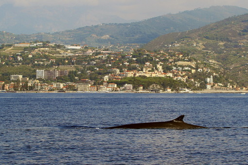 Gigantesche balenottere comuni e maestosi capodogli a un miglio dalla costa del ponente ligure