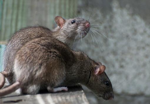 Sanremo: troppi topi nella zona di via Dante Alighieri, il grido d'allarme di una nostra lettrice