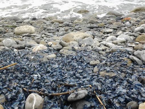 Spiaggiamento di 'Velella velella' sulla spiaggia Ex Bungalow di Riva Ligure, la segnalazione con foto di una lettrice