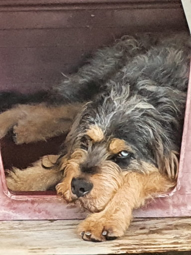 Enpa di Sanremo il cagnolone Argo aspetta una famiglia